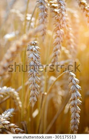 Ripe ears wheat. Close-up - stock photo