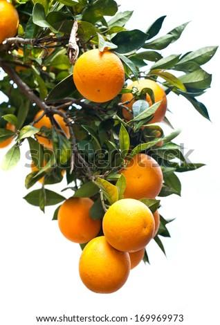 ripe fresh orange fruits - stock photo