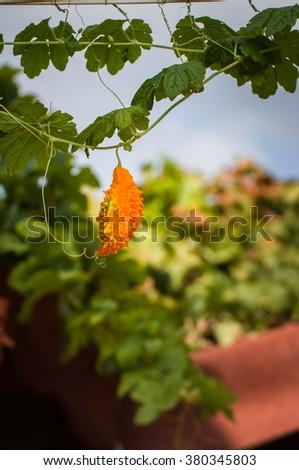 Ripe fruit of momordica overlooking the rooftops of Simena, Turkey. - stock photo