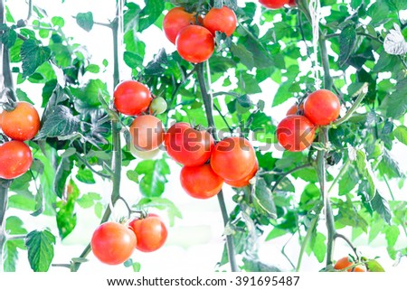 RIpe garden tomatoes , fresh tomatoes plants  - stock photo