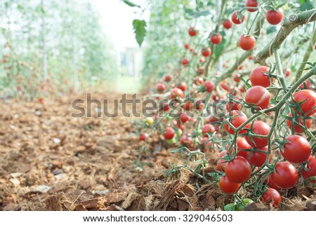 RIpe garden tomatoes ready for picking in greenhouse - stock photo