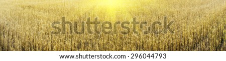 Ripe gold wheat field can be used as background. - stock photo