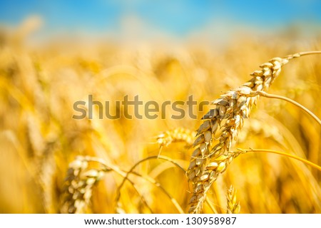 ripe golden wheat - stock photo
