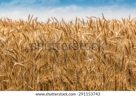 Ripe grain landscape with cloudy blue sky - stock photo