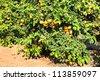 Ripe Grapefruit tree on citron plantation - stock photo