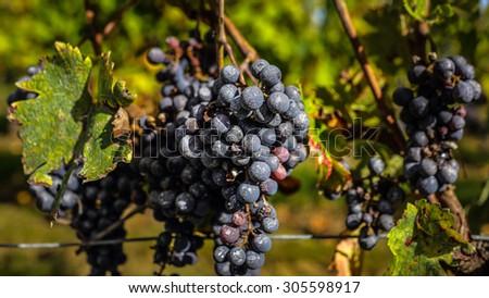 ripe grapes before harvest, Bordeaux, France - stock photo