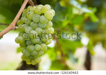 Ripe grapes for Riesling white wine in vineyard in Germany - stock photo