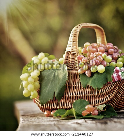 Ripe grapes  in a sunlit basket outdoors on a wooden table outdoors. Fresh rich grapes on the vintage wooden table in the vineyard. Good harvest concept.  - stock photo