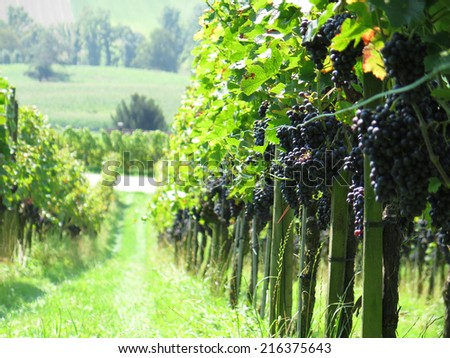 Ripe grapes in a vineyard - stock photo