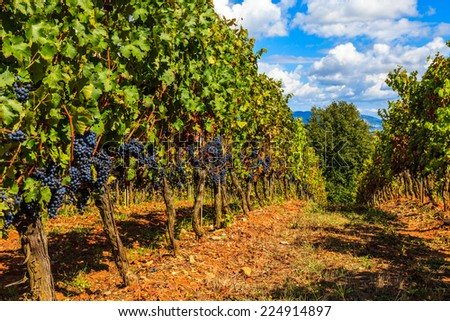 Ripe grapes in a vineyard in Tuscany, Italy. - stock photo