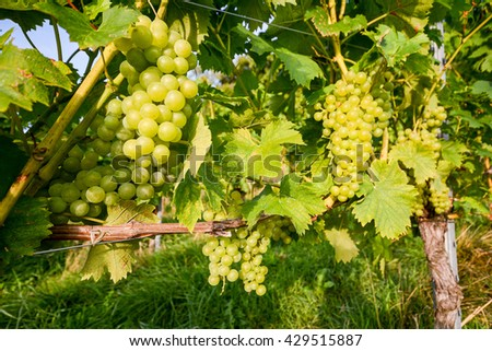 Ripe grapes in an old vineyard in the tuscany winegrowing area, Italy Europe - stock photo