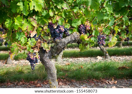 Ripe grapes in autumn  - stock photo