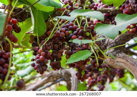 Ripe grapes in autumn harvest to produce table wine. - stock photo