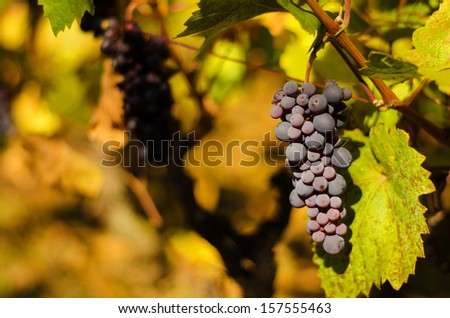 Ripe grapes in fall - stock photo