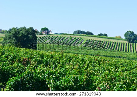 Ripe Grapes in the Autumn in Bordeaux, France - stock photo