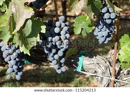 Ripe grapes in the vineyard, ready for harvest - stock photo