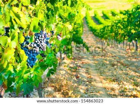 Ripe grapes in Vineyard  - stock photo