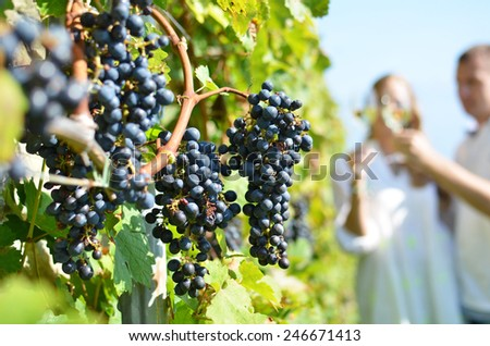 Ripe grapes. Lavaux, Switzerland - stock photo
