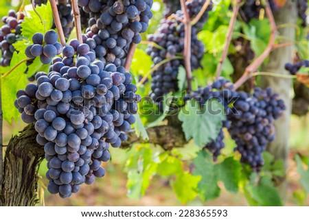 Ripe grapes on the vine - stock photo