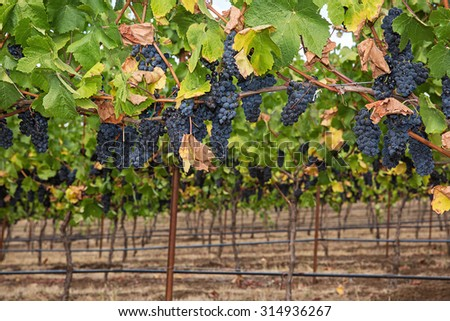 Ripe grapes on the vine at a winery - stock photo