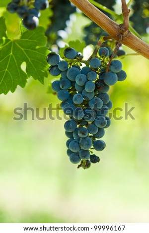 Ripe grapes right before harvest in the summer sun - stock photo