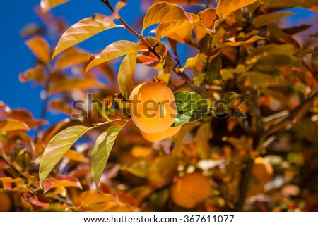 Ripe Hachiya Persimmon, hanging on the branch of a tree at fruit garden - stock photo