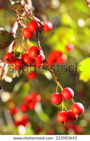 Ripe hawthorn branch at sunny autumn day, close up - stock photo
