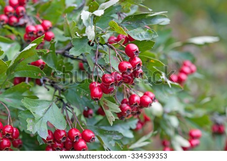 ripe hawthorn in autumn. Close up - stock photo