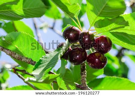 Ripe juicy vinous cherry big berries with sunlight foliage on tree branch - stock photo