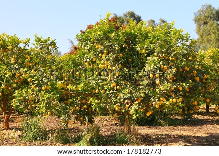 Ripe lemon tree on citron plantation  - stock photo