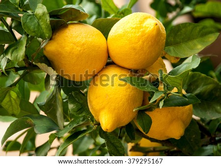 Ripe lemons hanging on a tree  - stock photo