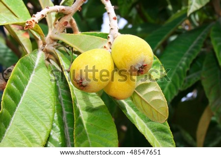 Ripe loquats on tree. - stock photo