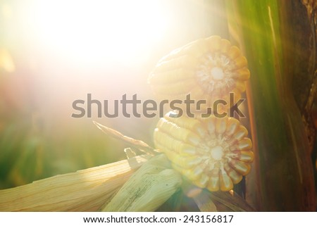 Ripe maize corn on the cob in cultivated agricultural field with sun flare - stock photo