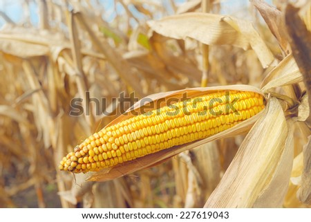 Ripe maize on the cob in cultivated agricultural corn field ready for harvest picking - stock photo