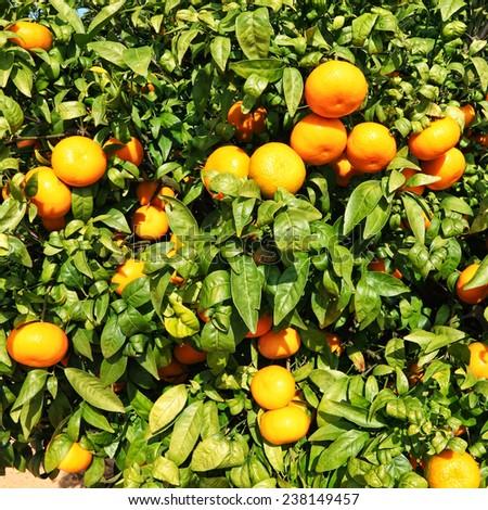 Ripe mandarin tree on citron plantation  - stock photo