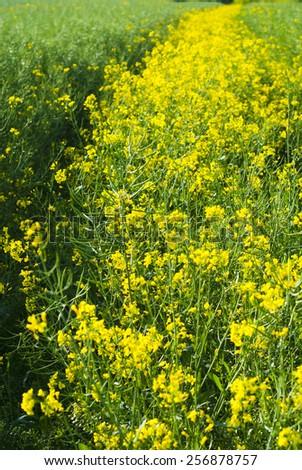ripe oilseed rape field - stock photo