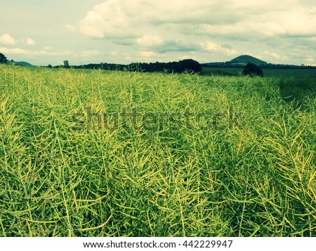 Ripe oilseed rape field.  Fresh green beans. Oilseed rapeseed cultivated agricultural field. - stock photo