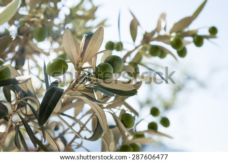 ripe olives hanging from the branches - stock photo