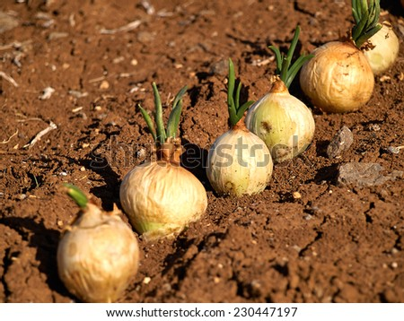 Ripe onions field agricultural landscape - stock photo