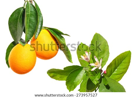 Ripe orange fruits on a branch and citrus flowers on the tree. Isolated on white background.  - stock photo