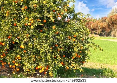 Ripe orange tree on citron plantation - stock photo