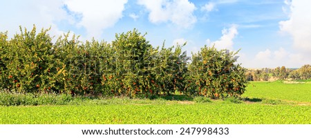 Ripe orange trees on citron plantation.Panoramic landscape - stock photo