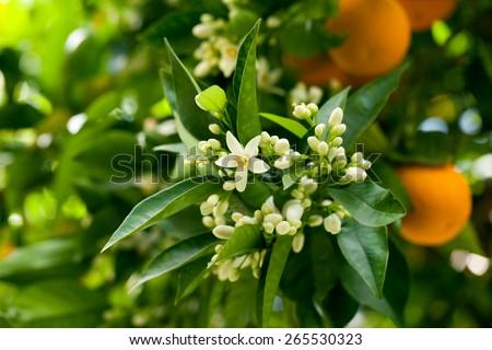 Ripe oranges hanging on a blossoming orange tree - stock photo