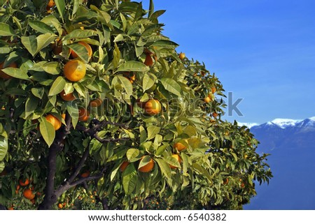 Ripe Oranges On A Tree (North Italy) - stock photo