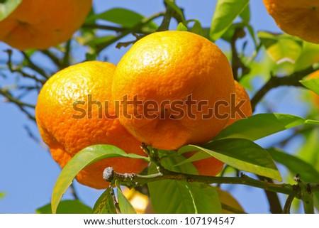 Ripe oranges on tree - stock photo