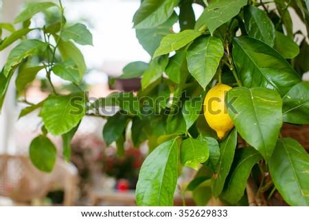 Ripe organic lemon hanging on tree. In own garden, fresh fruit. - stock photo