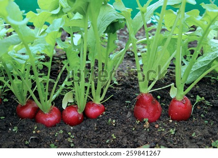 Ripe oval red radish in the garden - stock photo