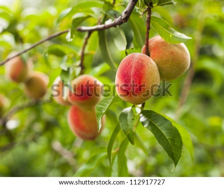 Ripe peaches fruits on a branch closeup on the tree - stock photo
