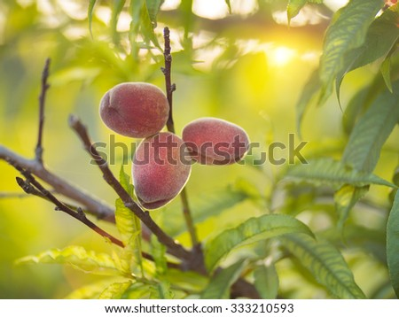 Ripe peaches growing on tree in garden at sunset. Shallow DOF, copyspace. - stock photo