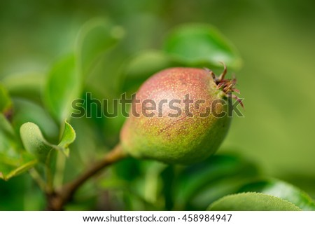 Ripe pear on tree branch. Organic pear in the garden. Pear fruit on the tree in the fruit garden - stock photo
